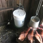 five gallon bucket chicken waterer