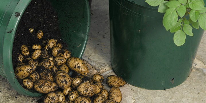 potatoes grown in a 5 gallon bucket