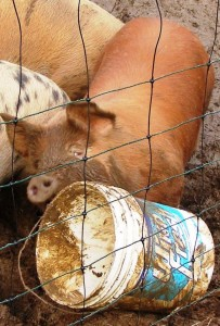 pig and bucket