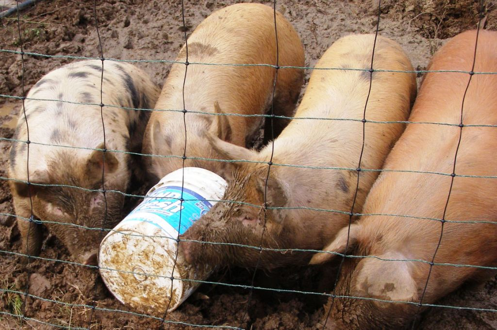Pigs with a 5 gallon bucket