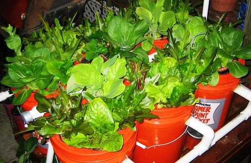 5 Gallon Bucket Aquaponics