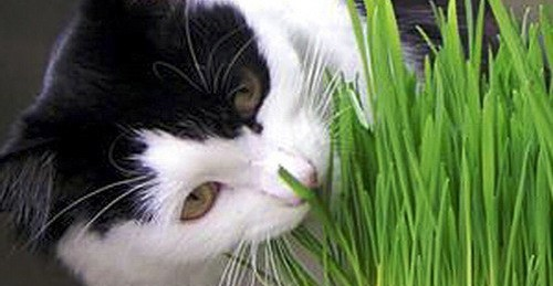cat with wheat grass