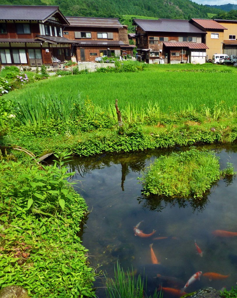 japanese koi rice paddy
