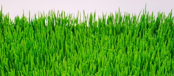 wheat grass farm