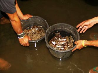 crabs washed in buckets