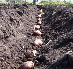 planting-seed-potatoes