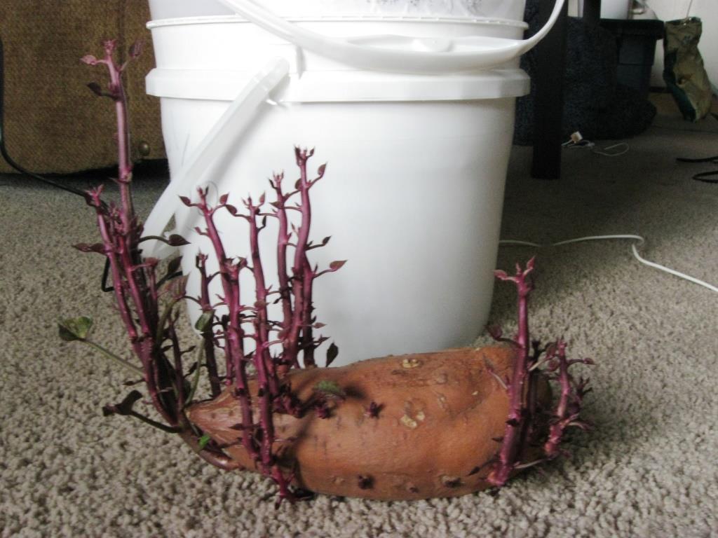 Growing Sweet Potatoes In 5 Gallon Buckets Five Ideas