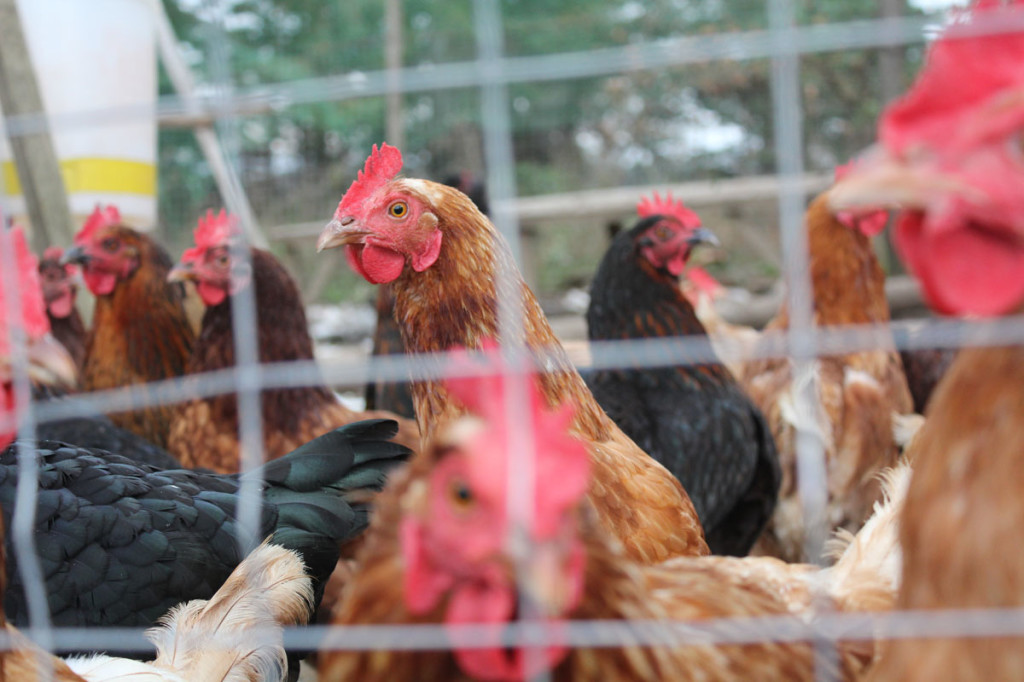 chickens-through-fence-in-pen