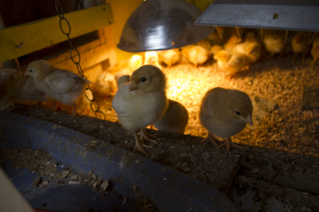 chicks-with-heat-lamp