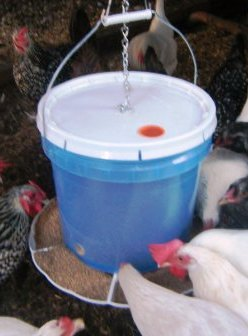 chicken-eating-out-of-a-bucket