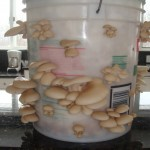 Growing your own Oyster mushrooms