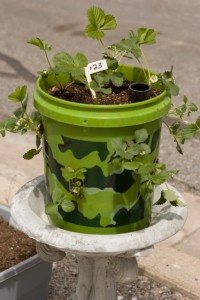 five gallon bucket strawberry planter