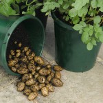 potatoes-grown-in-buckets