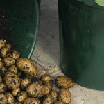 Grow a Potato Farm in Buckets
