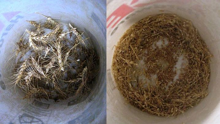 threshed-vs-unthreshed-grain