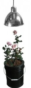 hydroponic roses