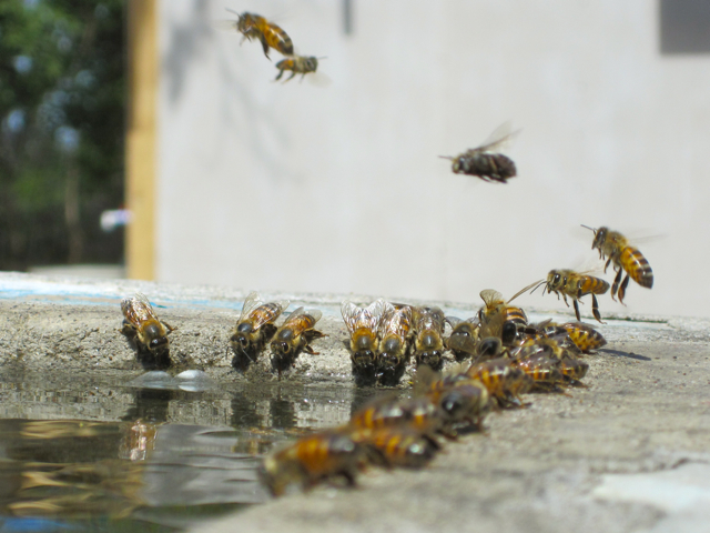 bees-drinking