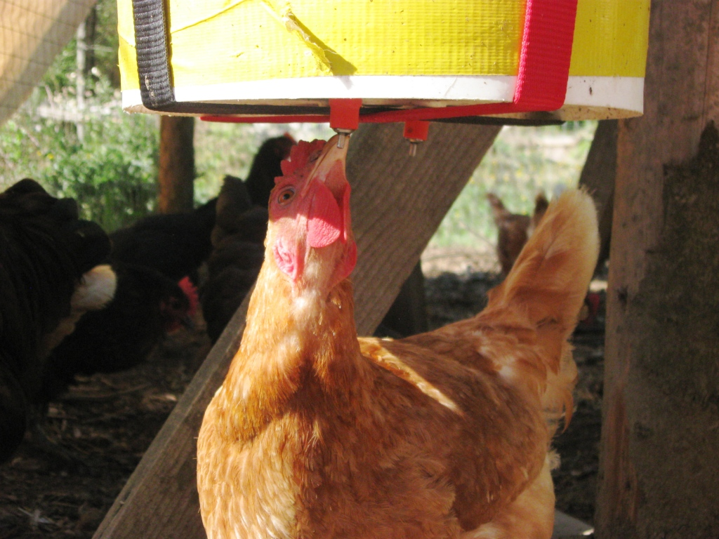 bucket-sling-chicken-waterer