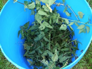 stinging nettles in bucket barrel