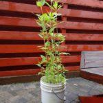 Growing Sunchokes in a Bucket