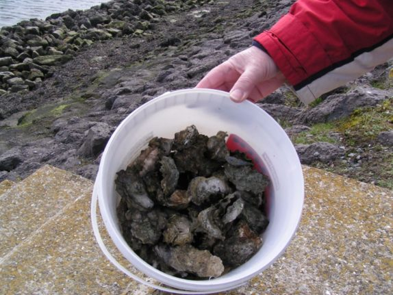 full bucket with oysters