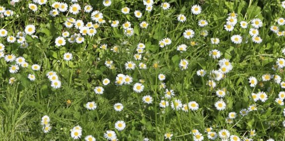 wild Chamomile growing anxiety herbs natural remedy