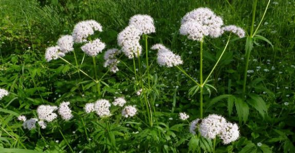valerian growing wild anxiety reduction herbal remedy